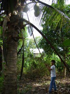 Coconut Tree Sokhy Kratie Province